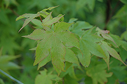 Tana Japanese Maple (Acer palmatum 'Tana') at Jim Melka Landscaping & Garden Center