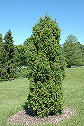 Pencil Point Juniper (Juniperus communis 'Suecica') at Jim Melka Landscaping & Garden Center