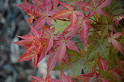 Otome Zakura Japanese Maple (Acer palmatum 'Otome Zakura') at Jim Melka Landscaping & Garden Center