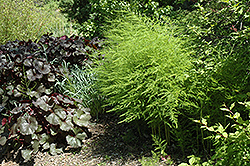 Mary Washington Asparagus (Asparagus 'Mary Washington') at Jim Melka Landscaping & Garden Center