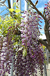 Black Dragon Wisteria (Wisteria floribunda 'Black Dragon') at Jim Melka Landscaping & Garden Center