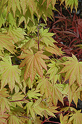 Autumn Moon Full Moon Maple (Acer shirasawanum 'Autumn Moon') at Jim Melka Landscaping & Garden Center