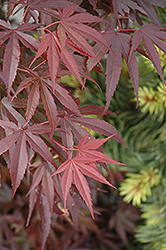 Skeeter's Broom Dwarf Japanese Maple (Acer palmatum 'Skeeter's Broom') at Jim Melka Landscaping & Garden Center