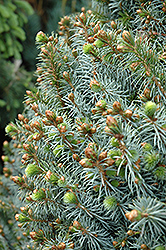 Papoose Dwarf Sitka Spruce (Picea sitchensis 'Papoose') at Jim Melka Landscaping & Garden Center