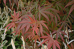 Dwarf Red Pygmy Japanese Maple (Acer palmatum 'Red Pygmy') at Jim Melka Landscaping & Garden Center