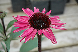 Big Sky After Midnight Coneflower (Echinacea 'Big Sky After Midnight') at Jim Melka Landscaping & Garden Center