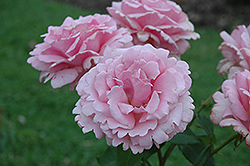 Memorial Day Rose (Rosa 'Memorial Day') at Jim Melka Landscaping & Garden Center