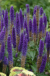 Royal Candles Speedwell (Veronica spicata 'Royal Candles') at Jim Melka Landscaping & Garden Center