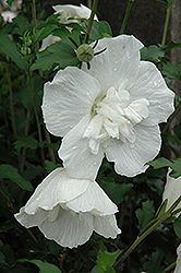White Chiffon® Rose of Sharon (Hibiscus syriacus 'Notwoodtwo') at Jim Melka Landscaping & Garden Center