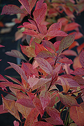 Little Henry® Virginia Sweetspire (Itea virginica 'Sprich') at Jim Melka Landscaping & Garden Center