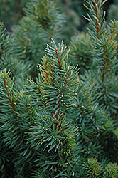 Citation Yew (Taxus x media 'Citation') at Jim Melka Landscaping & Garden Center