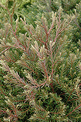 Heatherbun Whitecedar (Chamaecyparis thyoides 'Heatherbun') at Jim Melka Landscaping & Garden Center