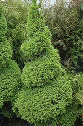 Dwarf Alberta Spruce (Picea glauca 'Conica (spiral)') at Jim Melka Landscaping & Garden Center