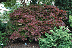 Shaina Japanese Maple (Acer palmatum 'Shaina') at Jim Melka Landscaping & Garden Center