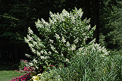 Tardiva Hydrangea (tree form) (Hydrangea paniculata 'Tardiva (tree form)') at Jim Melka Landscaping & Garden Center