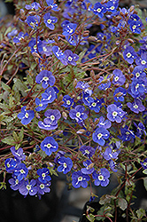Georgia Blue Speedwell (Veronica peduncularis 'Georgia Blue') at Jim Melka Landscaping & Garden Center