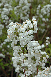 Bridalwreath Spirea (Spiraea prunifolia) at Jim Melka Landscaping & Garden Center