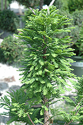 Peve Minaret Baldcypress (Taxodium distichum 'Peve Minaret') at Jim Melka Landscaping & Garden Center