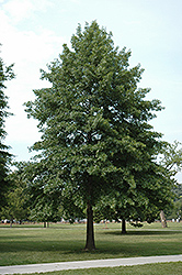 Pin Oak (Quercus palustris) at Jim Melka Landscaping & Garden Center