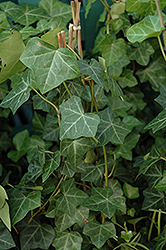 Thorndale Ivy (Hedera helix 'Thorndale') at Jim Melka Landscaping & Garden Center