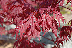Nuresagi Japanese Maple (Acer palmatum 'Nuresagi') at Jim Melka Landscaping & Garden Center