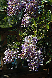 Summer Cascade™ Wisteria (Wisteria macrostachya 'Betty Matthews') at Jim Melka Landscaping & Garden Center