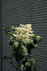 Snowcap Japanese Tree Lilac (Syringa reticulata 'Elliott') at Jim Melka Landscaping & Garden Center