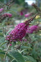 Miss Ruby Butterfly Bush (Buddleia davidii 'Miss Ruby') at Jim Melka Landscaping & Garden Center