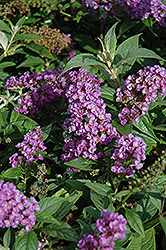 Lo And Behold® Purple Haze Dwarf Butterfly Bush (Buddleia 'Lo And Behold Purple Haze') at Jim Melka Landscaping & Garden Center