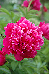 Kansas Peony (Paeonia 'Kansas') at Jim Melka Landscaping & Garden Center