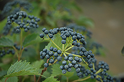 Northern Burgundy Viburnum (Viburnum dentatum 'Morton') at Jim Melka Landscaping & Garden Center