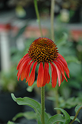 Firebird Coneflower (Echinacea 'Firebird') at Jim Melka Landscaping & Garden Center