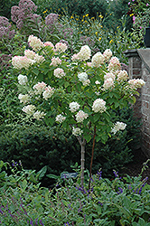 Limelight Hydrangea (tree form) (Hydrangea paniculata 'Limelight (tree form)') at Jim Melka Landscaping & Garden Center