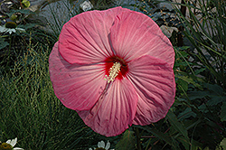 Party Favor Hibiscus (Hibiscus 'Party Favor') at Jim Melka Landscaping & Garden Center