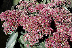 Autumn Delight Stonecrop (Sedum 'Autumn Delight') at Jim Melka Landscaping & Garden Center