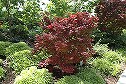 Adrians Compact Japanese Maple (Acer palmatum 'Adrian's Compact') at Jim Melka Landscaping & Garden Center