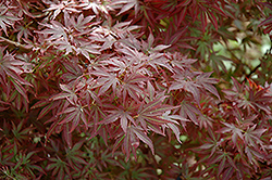 Aratama Japanese Maple (Acer palmatum 'Aratama') at Jim Melka Landscaping & Garden Center
