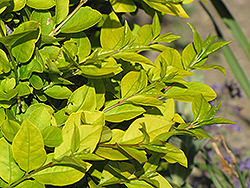 Golden Privet (Ligustrum x vicaryi) at Jim Melka Landscaping & Garden Center