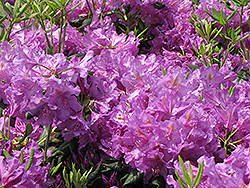 Lee's Dark Purple Rhododendron (Rhododendron catawbiense 'Lee's Dark Purple') at Jim Melka Landscaping & Garden Center