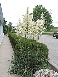 Adam's Needle (Yucca filamentosa) at Jim Melka Landscaping & Garden Center