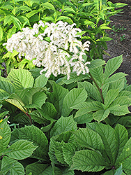 Chestnut Rodgersia (Rodgersia aesculifolia) at Jim Melka Landscaping & Garden Center