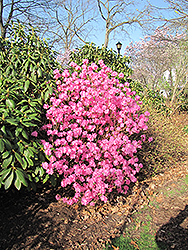 Landmark Rhododendron (Rhododendron 'Landmark') at Jim Melka Landscaping & Garden Center