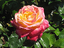 Love And Peace Rose (Rosa 'Love And Peace') at Jim Melka Landscaping & Garden Center