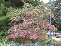 Chinese Dogwood (Cornus kousa) at Jim Melka Landscaping & Garden Center