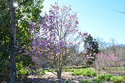 Jane Magnolia (Magnolia 'Jane') at Jim Melka Landscaping & Garden Center