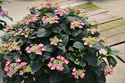 Tuff Stuff™ Red Hydrangea (Hydrangea serrata 'SMNMAKTSR') at Jim Melka Landscaping & Garden Center