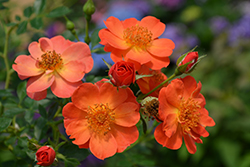Oso Easy® Paprika Rose (Rosa 'ChewMayTime') at Jim Melka Landscaping & Garden Center