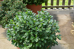 Low Scape® Mound Aronia (Aronia melanocarpa 'UCONNAM165') at Jim Melka Landscaping & Garden Center