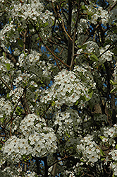 Chanticleer Ornamental Pear (Pyrus calleryana 'Chanticleer') at Jim Melka Landscaping & Garden Center