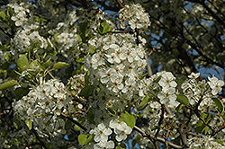 Cleveland Select Ornamental Pear (Pyrus calleryana 'Cleveland Select') at Jim Melka Landscaping & Garden Center